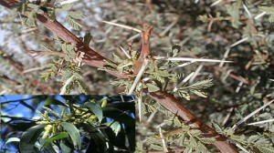 ficha-acacia-menabeensis