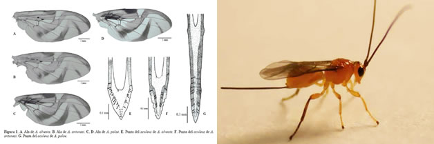 Avispa parasitoide