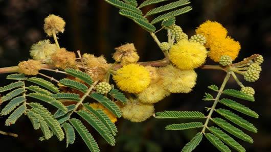 Acacia para muebles. Acacia nilotica