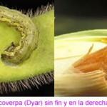 Nueva plaga atemoriza a los agricultores en Argentina