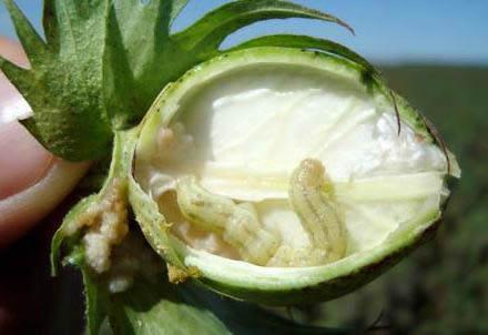 gusano del algodon. gusano de los citricos