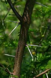 espinas de la acacia torrei