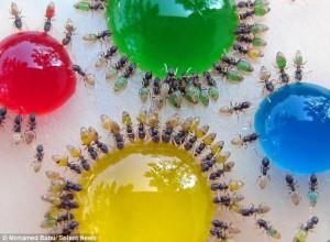 hormigas cambiando de color