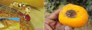 mosca ovipocitando en naranjas