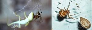 araña casera comun en telaraña