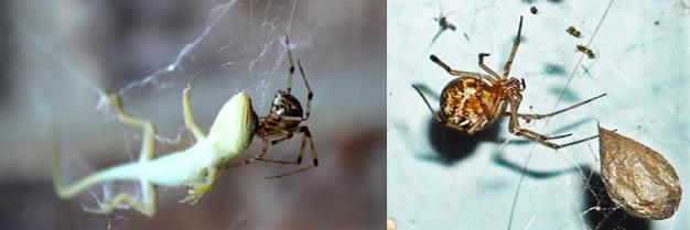 Araña casera común