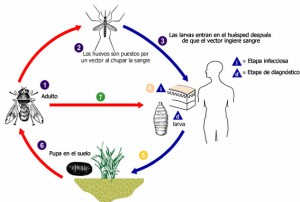 ciclo de vida larva miosis