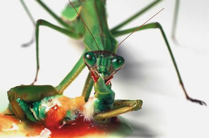Mantis religiosa deborando a un macho