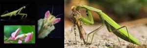 Un insecto muy canibalista, La Mantis religiosa. Mantis el cotejo del macho