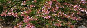 plantas. Ficha de abelia
