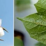 Indirectos efectos secundarios del cultivo de plantas modificadas genéticamente