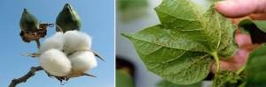 Indirectos efectos secundarios del cultivo de plantas modificadas genéticamente, los afidos en plantas de algodon bt transgenico
