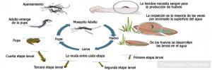 Ciclo de vida del mosquito Tigre
