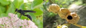 avispa con nido de barro