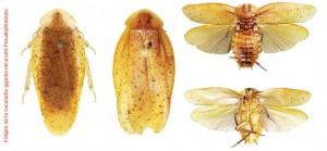 Cucaracha gigante