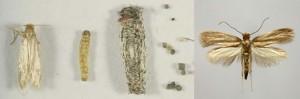 polilla de ropa y larva de polilla
