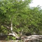 Anegadensis Acacia  (Pokemeboy)
