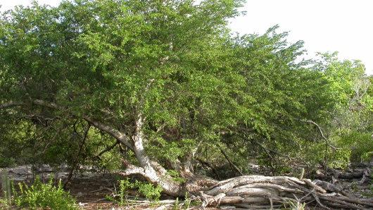 Arbol-Acacia