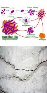 Bacilla-Filla