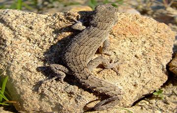 Lagartijas o lagartos, Gecko de Kotschy