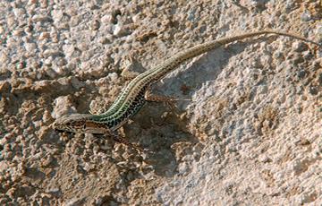lagartijas y lagartos. Lagartija-de-Creta