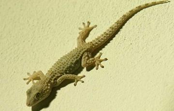 Lagartijas o lagartos Moorish-Gecko-pared