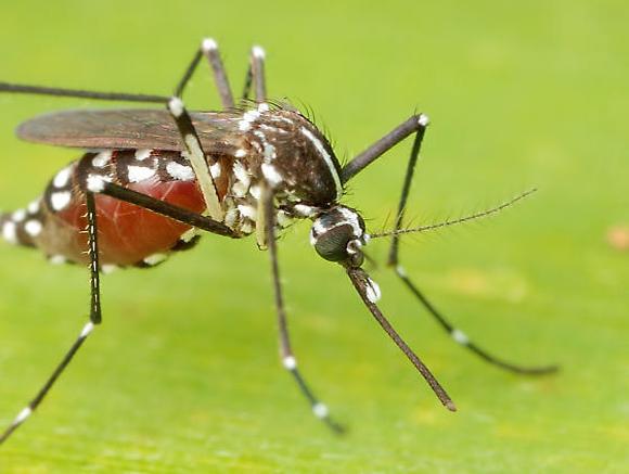 Mosquito Mortal Picadura
