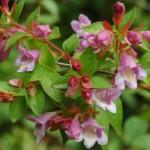Parvifolia Abelia  (Abelia Schumann)