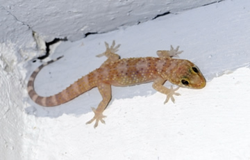El gecko turco (scient. Turcicus Hemidactylus)