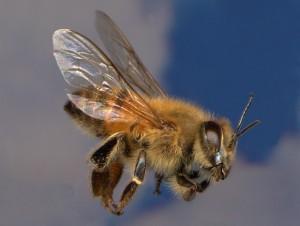 abeja-africana-venenosa