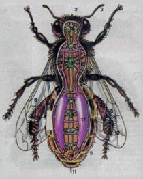 abeja-anatomia-fumigacion