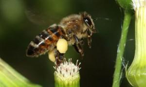 Abeja de miel, Abejas en Argentina