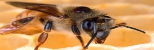 Las abejas enfermas recurren al botiquín de la naturaleza, se pueden curar
