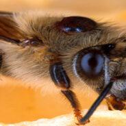Las abejas enfermas recurren al botiquín de la naturaleza