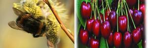 Interesante método para combatir la enfermedad de la cereza, las abejas transportan hongos