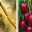 Interesante método para combatir la enfermedad de la cereza