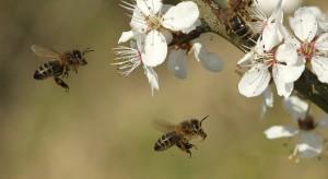 Prevenciion de enfermedades en cerezos con abejas