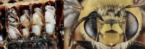 La evolucion de la abeja mielifera en todo el mundo