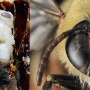 Revelan historia evolutiva de las abejas