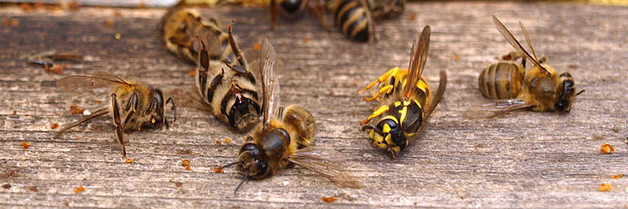 ¿Por qué hay una muerte masiva de las abejas?