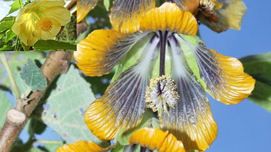 abutilon flor