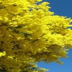 Acacia baileyana  ( Cotamundra zarzo)