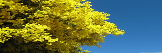 plantas acacia-baileyana