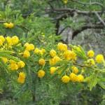 Acacia karroo  (dulce espina)