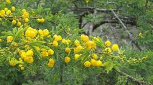 Acacia baileyana - Acacia chrysophilla - Acacia karroo
