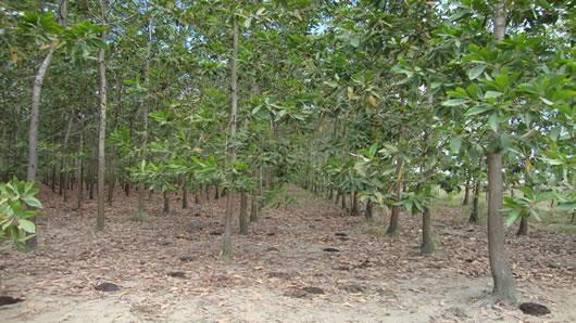 plantacion-acacia-mangium