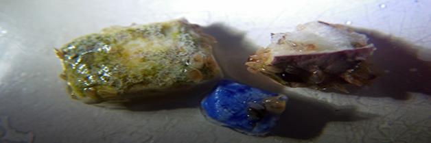 ¿Hay organismos marinos que se alimentan de plástico?