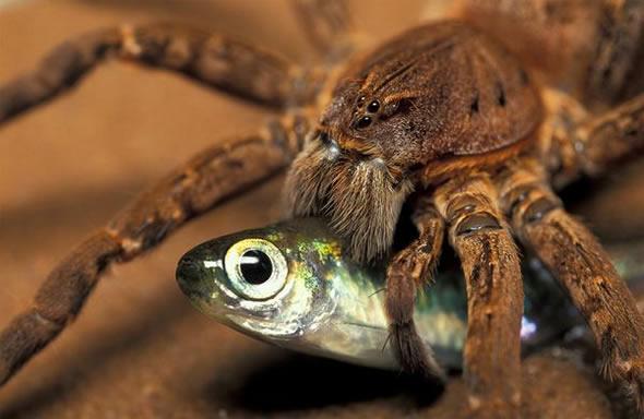 Araña atrapando peces