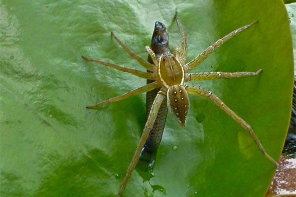 Araña se alimenta con peces