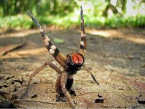 Araña Brasilea Venenosa
